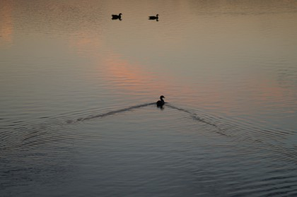 birds on lake at sunset, bawsey, king's lynn